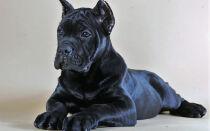 Дрессировка собак породы Кане Корсо в домашних условиях
