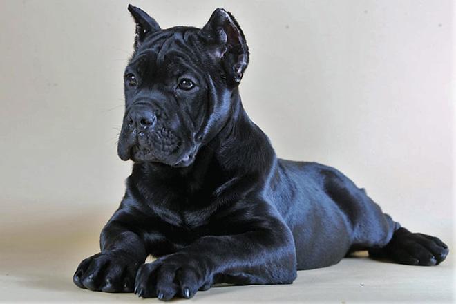 Щенок чёрный Кане Корсо